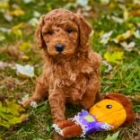 MINI-GOLDENDOODLE.jpeg